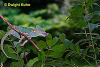 CH38-546z Female Veiled Chameleon tongue flicking to catch insect prey, Chamaeleo calyptratus, for sequence see CH38-542z and CH38-547z