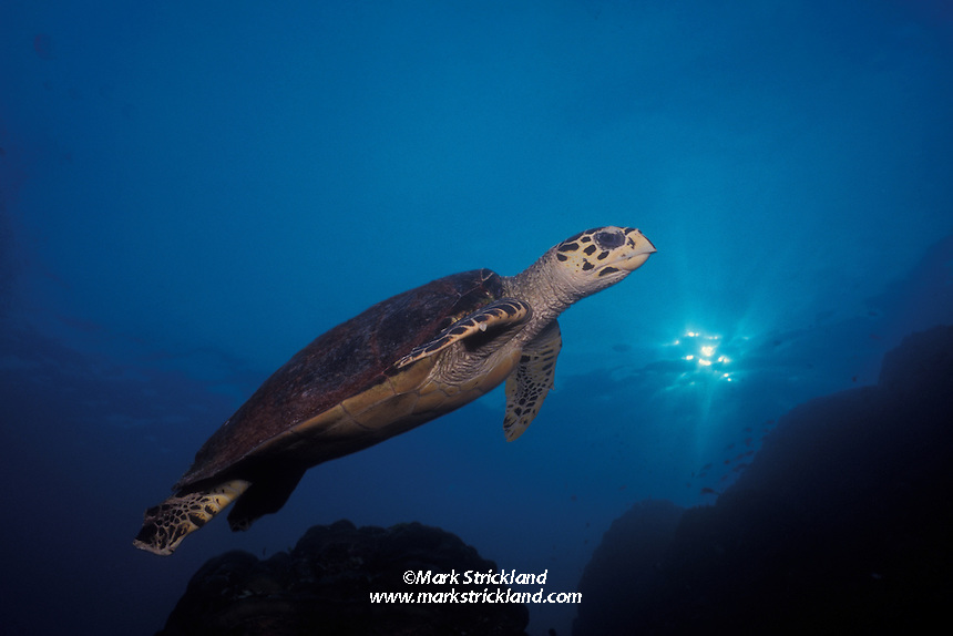 A Hawksbill Turtle, Eretmochelys imbricata, cruises over a shallow reef in late afternoon.  Surin Islands, Thailand, Andaman Sea