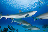 RW1754-D. Caribbean Reef Sharks (Carcharhinus perezi), found from Florida to Brazil, surface to over 1000 feet deep. Grows to 10 feet long, diet consists primarily of bony fishes. Solitary or in loose groups. Litter size 4-6 pups. Bahamas, Atlantic Ocean.<br /> Photo Copyright &copy; Brandon Cole. All rights reserved worldwide.  www.brandoncole.com