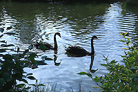 Black Swans - Regents Park - London, UK