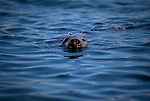 Curious rey seal, at Great Saltee, the Saltee Islands, off the coast of Co. Wexford, Ireland. © 2011 Dave Walsh
