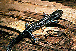 Blue-spotted salamander Ambystoma laterale
