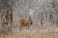 Whitetail deer (Odocoileus virginianus) scent marking during fall rut