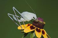 Greater Anglewing Katydid (Microcentrum rhombifolium), female feeding on Clasping-leaved Coneflower (Dracopis amplexicaulis)Sinton, Corpus Christi, Coastal Bend, Texas, USA