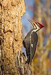 Pileated Woodpecker in dead tree