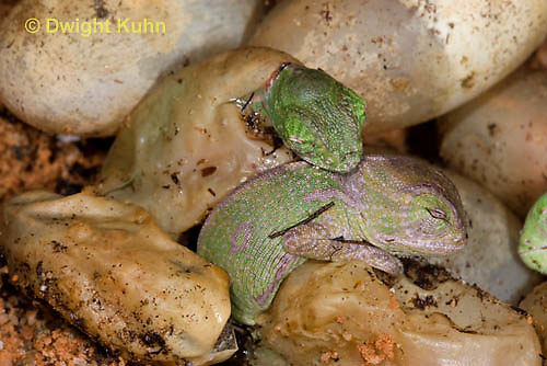 CH43-507z  Veiled Chameleon young hatching from eggs, Chamaeleo calyptratus