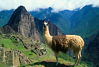 Llama with Machu Picchu archaeological site in background, Machu Picchu, Peru