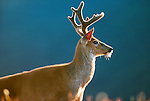 Black-tailed deer, Olympic National Park, Washington