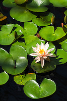 Water lily and pads at Como park Conservatory.