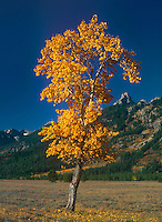 749450363 a resplendent aspen populus tremuloides in golden leafed fall color splendor frames the tetons in grand tetons national park in wyoming