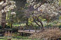 Magnolias in San Francisco Botanical Garden Moon Vewing Garden