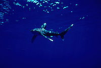 "This Oceanic whitetip shark, Carcharhinus longimanus, is displaying the ""classic"" pectoral fin warning display.  Hawaii."
