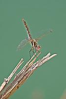 362800013 a wild female variegated meadowhawk sympetrum corruptum perches on a dead stick along the colorado river in lake havasu national wildlife refuge arizona united states