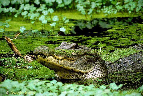1R16-012a   American Alligator - Alligator mississippiensis