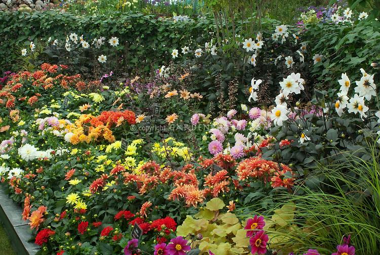 Dahlia garden Plant Flower Stock Photography GardenPhotoscom
