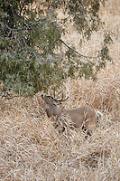 Whitetail deer (Odocoileus virginianus)buck working a scrape during autumn rut
