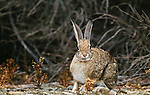 Brush rabbit, Los Banos Wildlife Area, California, USA