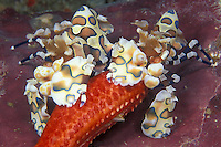 A pair of Harlequin Shrimp, Hymenocera elegans, keep a tight grip on a sea star arm. These shrimp feed exclusively on sea stars, and are normally found in pairs, working as a team to overcome their prey, which is often much larger than the shrimp. Richelieu Rock, Thailand, Andaman Sea