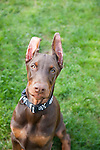 Red Doberman Puppy looking at the camera