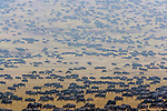 Wildebeest migration, Kenya