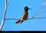 Anna's Hummingbird Male, Regaining his Balance, Sepulveda Wildlife Refuge, Southern California