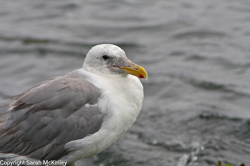 A Glaucous-Winged seagull stands by the choppy gray waters of Samoa Bay on the Pacific Coast of Humboldt County, near Eureka, in Northern California.