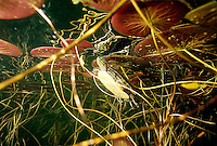 Painted Turtle<br />
