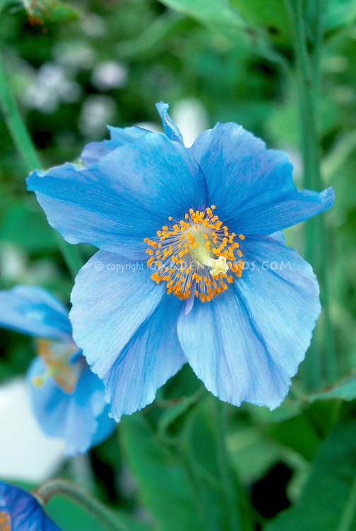 Meconopsis sheldonii in blue flowers