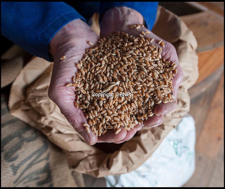BNPS.co.uk (01202 558833)<br /> Pic: PhilYeomans/BNPS<br /> <br /> Flour power - Miller Jim Bailey with unmilled wheat.<br /> <br /> Octo-mill turns again...'Ferrari of windmills' is restored.<br /> <br /> Britains only eight sailed windmill is working once again after a &pound;150,000 restoration to repair its unique sails.<br /> <br /> Heckington Mill has ground wheat to make flour since 1830 but it was closed down when two of its enormous wooden sails were found to have rotted. <br /> <br /> Four years and more than 100,000 pounds were spent crafting the one-tonne, 34ft sails from the trunks of Siberian larch trees so that the historic mill near Boston, Lincs, could continue to operate.<br /> <br /> And after a nail-biting operation to crane the old sails off and replace them with the new ones, the Grade I-listed building has been brought back to life.<br /> <br /> Eight-sailed mills were at the forefront of milling technology and experts have described Heckington Mill as &quot;the Ferrari of windmills&quot;.<br /> <br /> Miller Jim Bailey, 62, hopes that with the help of the mill's new sails he can increase output to five tonnes of flour a year within the next three years.
