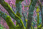 A study of texture and pastel color unified this image.  It is photographed within the sprawling branches of spring cherries.  A combination of drizzle and wind compliments the saturated pinks of blossoms, blue lichens, and warm moss greens.  As much as I love the grand landscapes of open country, I'm particularly drawn to the intimacy of small space, as in this image photographed on a particularly dark, dank day in Washington.
