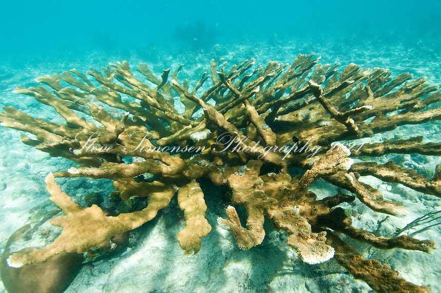 Elkhorn Coral, Acropora palmata<br /> Virgin Islands