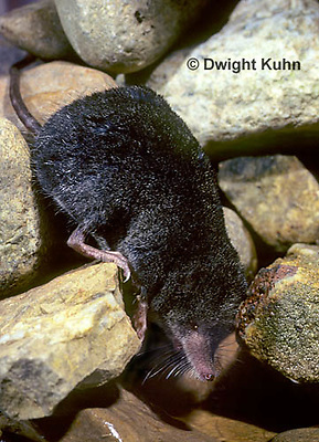 MU40-018z  Water Shrew - preparing to dive into water - Sorex palustris