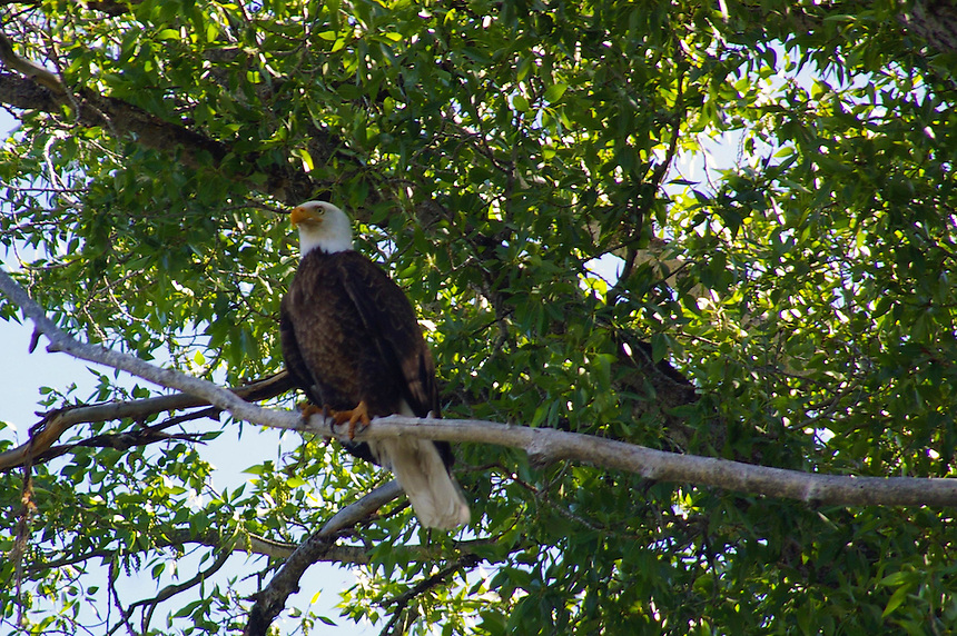 Bald Eagle perched on a branch at Yellowstone National Park.