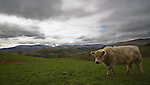 Cow on Wansfell, Lake District, Cumbria, UK