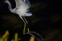 A trail of water, suspended in midair, from the golden slippers, the yellow feet of a Snowy egret taking flight.