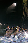 Steller Sea Lions and pups on the rocks as the ocean washes over them in the Sea Lion Caves Oregon coast along Pacific Coast Highway 101 north of Florence, Oregon. Jim Urquhart/straylighteffect.com 7/24/09