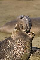 Male Northern Elephant Seal (Mirounga angustirostris) roaring, displaying large proboscis; Central California