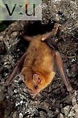 A Lilys Yellow-Shouldered Bat. (Sturnira lillium) Alamos, Sonora, Mexico