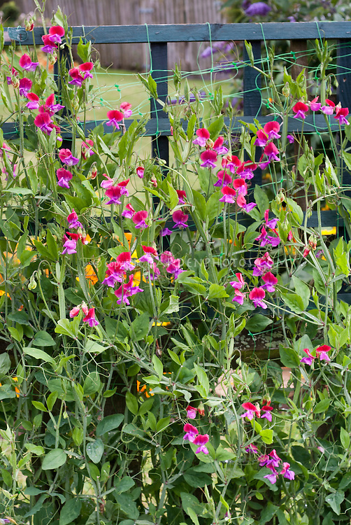 Lathyrus odoratus Sweet pea 'Lady Turral', bicolour in red and magenta pink