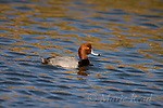 Redhead male (Aythya americana), male in breeding plumage, Bolsa Chica Ecological Reserve, California, USA