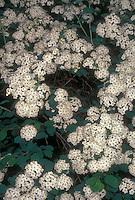 Spiraea x vanhouttei Snowmound in spring flower