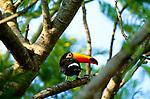 Toco Toucan, Pantanal, Brazil