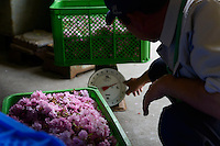 Staff weighing crates of yaezakura cherry blossom at a processing facility. Matsukawa-city, Nagano Prefecture, Japan, April 26, 2013. Farmers in the Matsukawa area of Nagano prefecture grow yaezakura cherry blossom to be used as an ingredient in Japanese cakes, sweets and other foods.