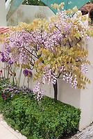 Pink Wisteria trained as standard against wall, with Buxus boxwood at base, and Allium ornamental onion bulbs and Lavandula stoechas Spanish lavender for pink, lavender, purple color theme in courtyard garden