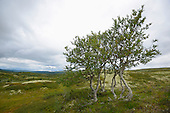 European White Birch (Betula pubescens), Dovrefjell National Park, Norway