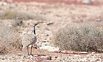 Houbara Bustard, Chlamydotis undulata fuertaventurae, Tindaya Plain, Fuerteventura, Canary Islands, Spain, endangered on the Spanish Bird Red List