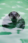 Harbor seal, found along temperate and arctic marine coastlines.