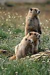 Olympic marmots, Olympic National Park, Washington