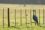 A Blue Crane stands next to a farm fence at dawn, Overberg, Western Cape, South Africa