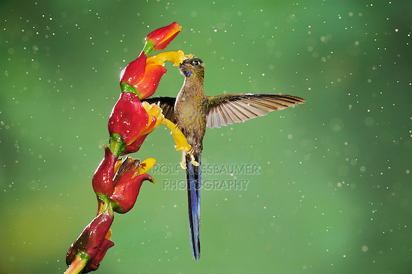 Violet-tailed Sylph (Aglaiocercus coelestis), male feeding on ginger flower during rain fall, Mindo, Ecuador, Andes, South America